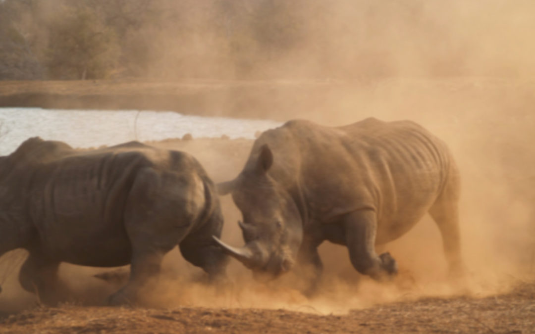 Why Is Rhino Horn Being Traded?